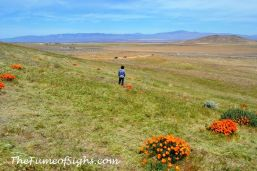 California Poppies in the Antelope Valley on April 15, 2018